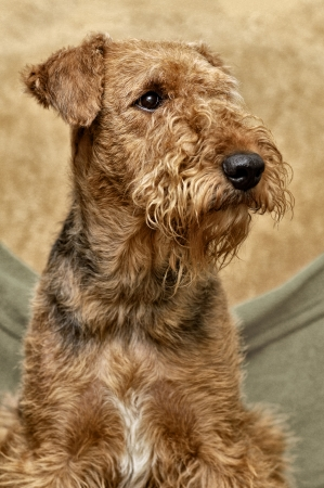 airedale terrier dog: portrait of Airedale  Stock Photo