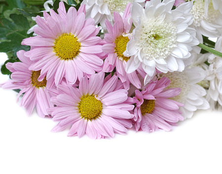 kamille: pink chrysanthemum on white  Stock Photo