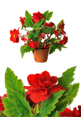 begonia: red begoniain pot isolated on white
