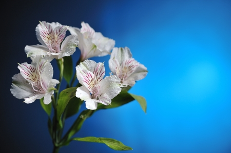 white alstroemeria on blue background photo