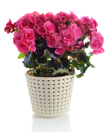 begonia: blooming pink begonia in pot  isolated on white background Stock Photo