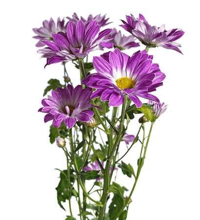 kamille: purple chrysanthemum on white background Stock Photo