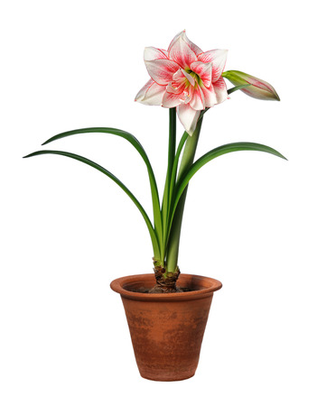 blooming amaryllis in ceramic pot isolated on white background photo