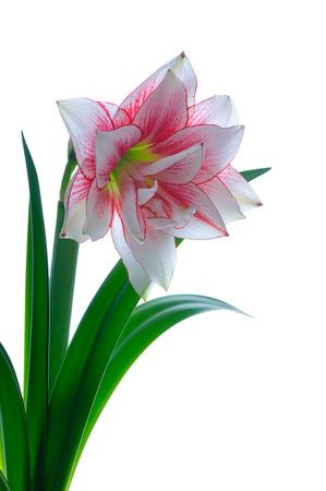 blooming amaryllis  isolated on white background photo