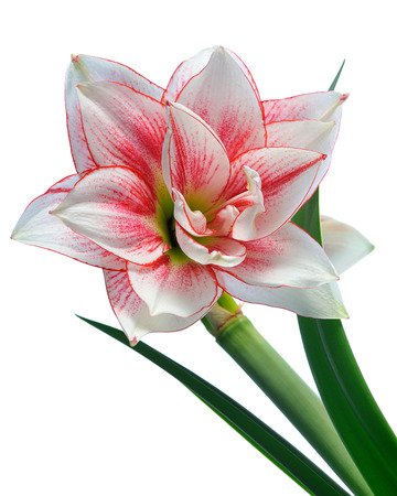 blooming amaryllis macro isolated on white background photo