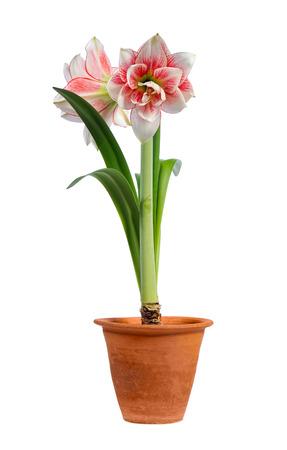 blooming amaryllis in ceramic pot isolated on white background photo