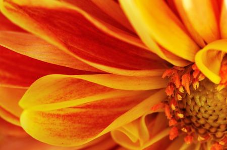 georgina: flower of georgina background macro Stock Photo