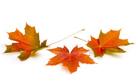 가을의 단풍에 격리 된 흰색 배경에 나뭇잎