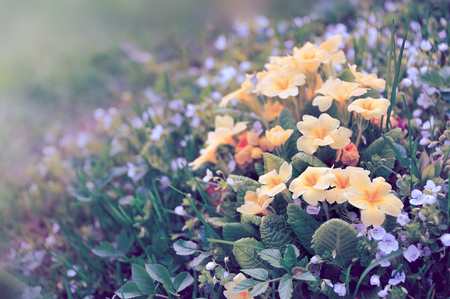flower bed: yellow primula on flower bed Stock Photo