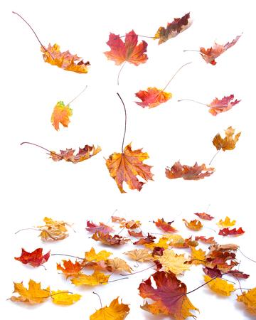 autumn maple leaves falling on white background Stock Photo