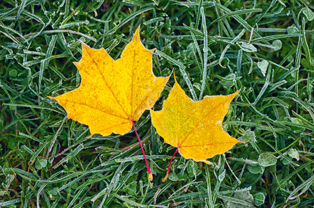 autumn colour: two yellow maple leaves on green frozen grass