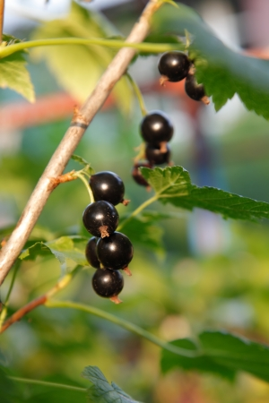 bacca: Branch of black currant on bush
