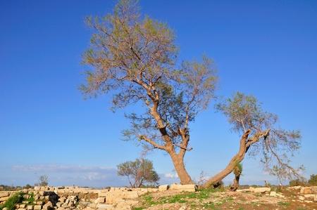 archeological site: Tree at archeological site  Caesarea