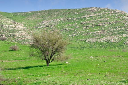 golan: Lonely tree at the plain approaching to Golan heights.