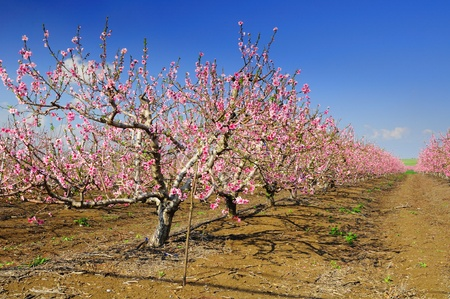 Almond trees blossoming.  Stock Photo