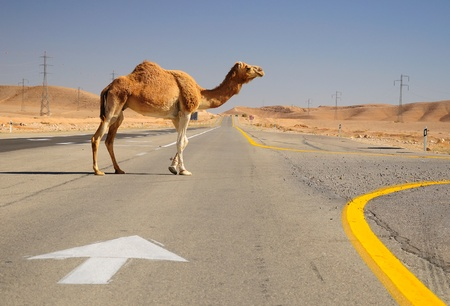Camel crossing highway in Negev desert. Israel.  photo