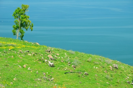 Lonely tree at the lake Kinneret shore. Northen Israel.  photo
