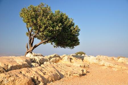 Carob tree on Arbel cliff. Israel.