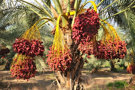 palm tree fruit: Date palm branches with ripe dates. Northern israel.  Stock Photo