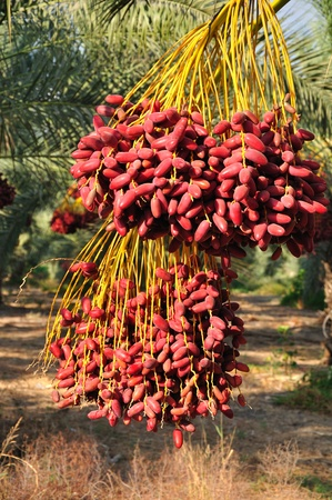 Date palm branch with ripe dates. Northern israel.  Stock Photo - 10667852