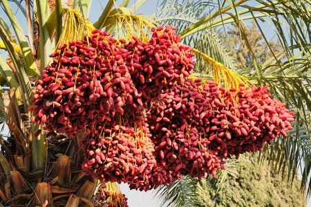 Date palm branches with ripe dates. Northern israel.  Stock Photo