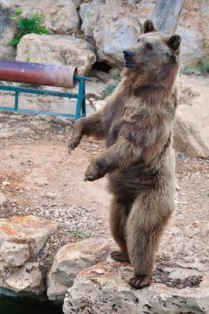 L'ours brun debout sur les pattes arrières.