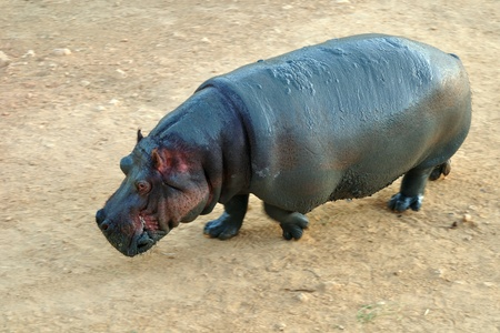 Hippopotamus. Stock Photo