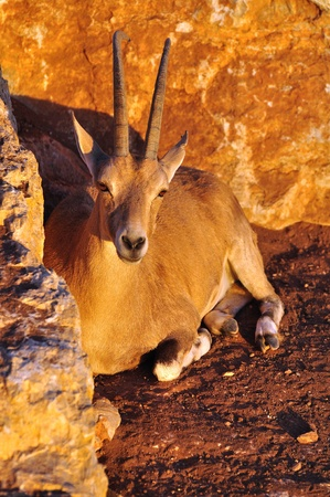 Palestine Gazelle under sunset light  Vertical image