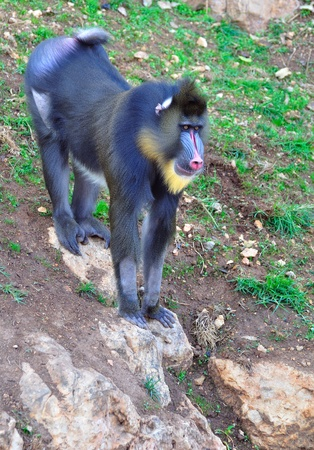 Mandrill standing on a hill.