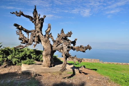 the golan heights: Solitary dry olive tree at Golan Heights with Kinneret lake at the background. Stock Photo
