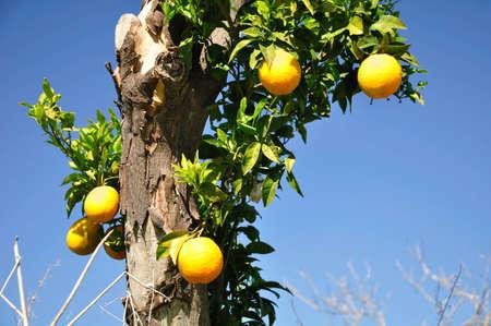Wild orange tree with ripe fruits  Israel Stock Photo - 12731069