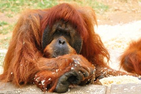anthropomorphous: Orangutan in safari park  Central Israel