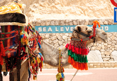Bedouin camel as a tourist attraction at the way to the dead sea  Israel