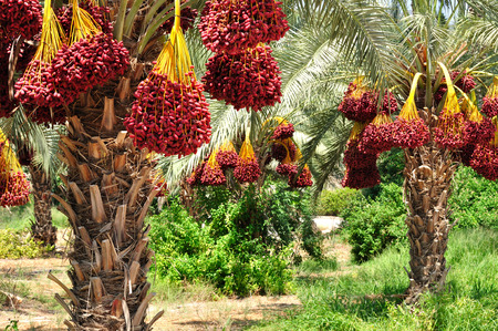 date: Date palm branches with ripe dates. Northern israel.