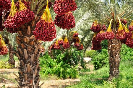 Datum Palmzweige mit reife Datteln. Northern israel. Standard-Bild