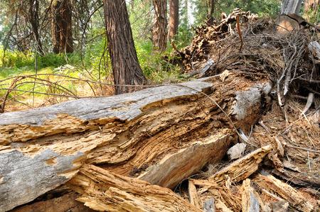 Old dry fallen tree in yosemite national park. California. USA. Stock Photo