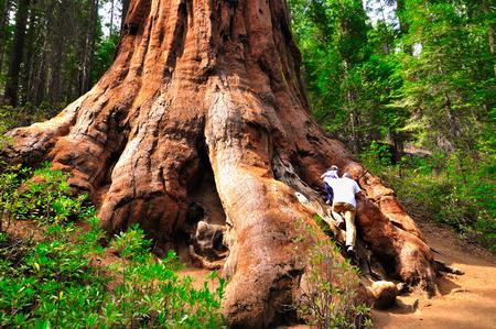 sequoia: Gigantic roots of sequoia in Yosemite national park. California. Stock Photo