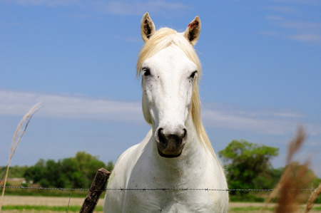 mane: Special horse breed with white mane. Camargue. France.