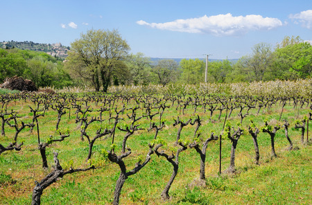 View to french landscape with vineyard sprouts pattern.