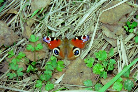 io: Butterflies from moderate climate of Russia: Inachis io Stock Photo