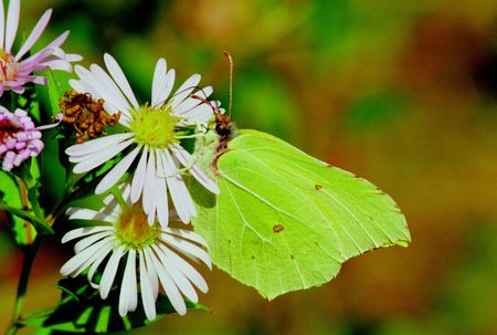 Butterflies from moderate climate of Russia: Gonepteryx rhamni photo