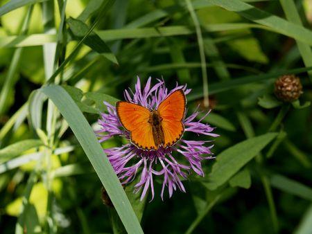 virgaureae: Butterflies from moderate climate of Russia: Heodes virgaureae Stock Photo