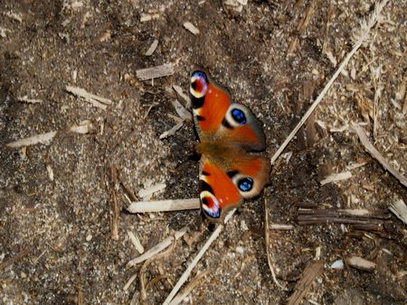 inachis: Butterflies from moderate climate of Russia: Inachis io Stock Photo