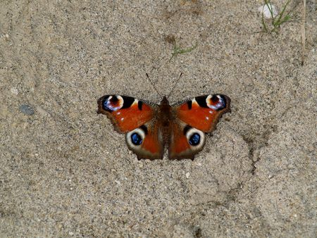 Butterflies from moderate climate of Russia: Inachis io photo