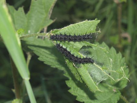 io: Butterflys larva moderate climate of Russia: Inachis io Stock Photo