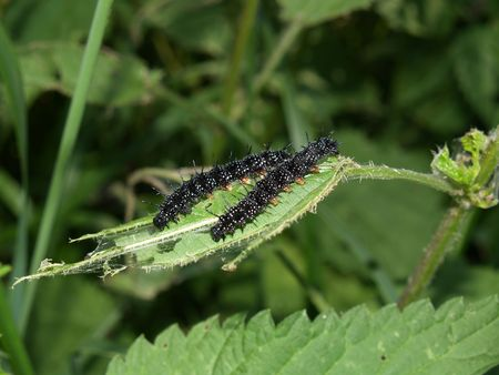 inachis: Butterflys larva moderate climate of Russia: Inachis io Stock Photo