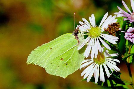 Beautefull butterflies of Russia: Gonepteryx rhamni 7 photo