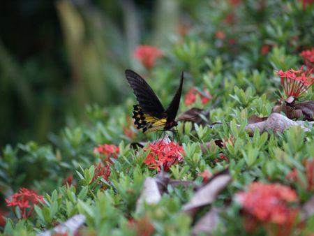 exotic butterflies: Mariposas ex�ticas de Tailandia, la isla Phuket 2