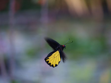 exotic butterflies: Mariposas ex�ticas de Tailandia, la isla Phuket 3