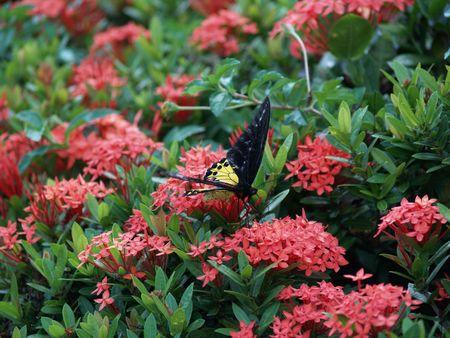 exotic butterflies: Mariposas ex�ticas de Tailandia, la isla Phuket 5